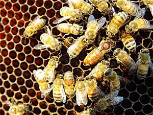 Extra-3-4-13-Tarpy-bee-image-large