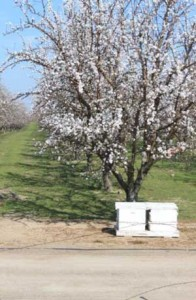 Over 800,000 acres of almonds are grown in California. (photo Kyle Anderson)