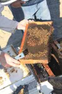 Hives that weren't completely dead were often weak like this one. (photo Kyle Anderson)