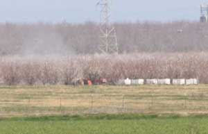An applicator sprays fungicide on blooming almonds, with beehives right in the line of the spray. (photo Kyle Anderson)