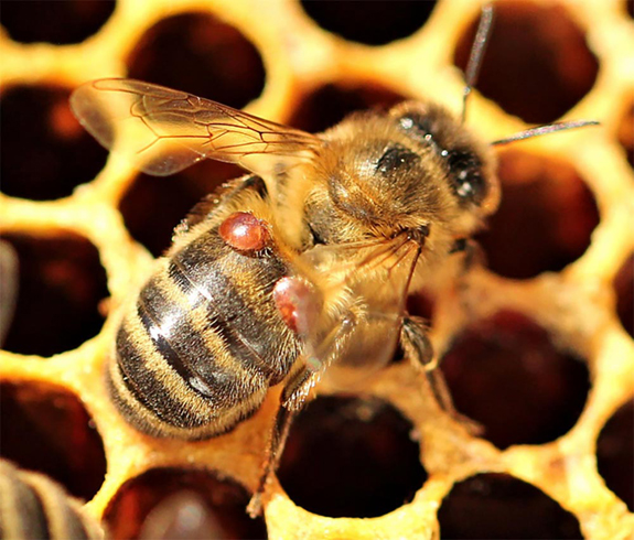 some honey bee colonies adapt in wake of deadly mites bee
