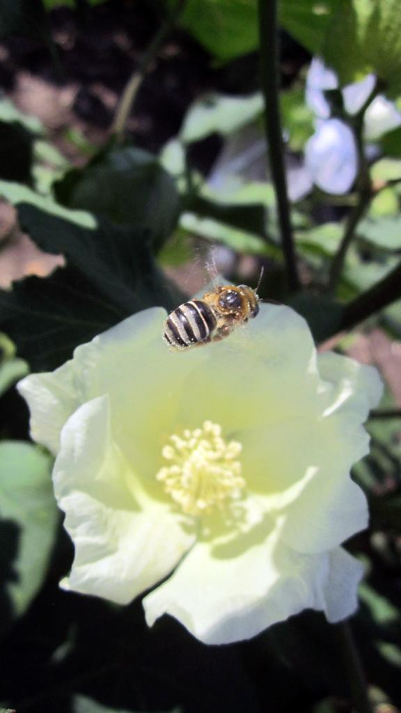 Bee hovers over cotton flower in South Texas. Credit: Sarah Cusser