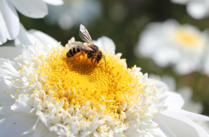 A honeybee foraging for pollen. Credit Dr. Elizabeth Nicholls