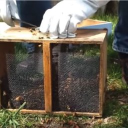 Opening the top of package bees with a hive tool