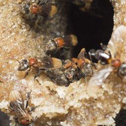 Nest entrance of the stingless bee, Geniotrigona thoracica, is from Malaysia