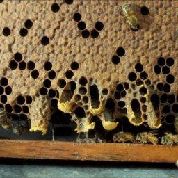 Swarm queen cells on the edge of honey bee comb