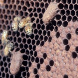 Supercedure queen cells on the face of a honey bee comb