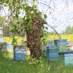 swarm of honeybees on branch