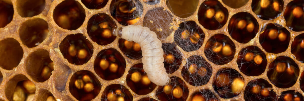 Honey Bee Pests and Diseases, Pt  1: Common Honey Bee Pests