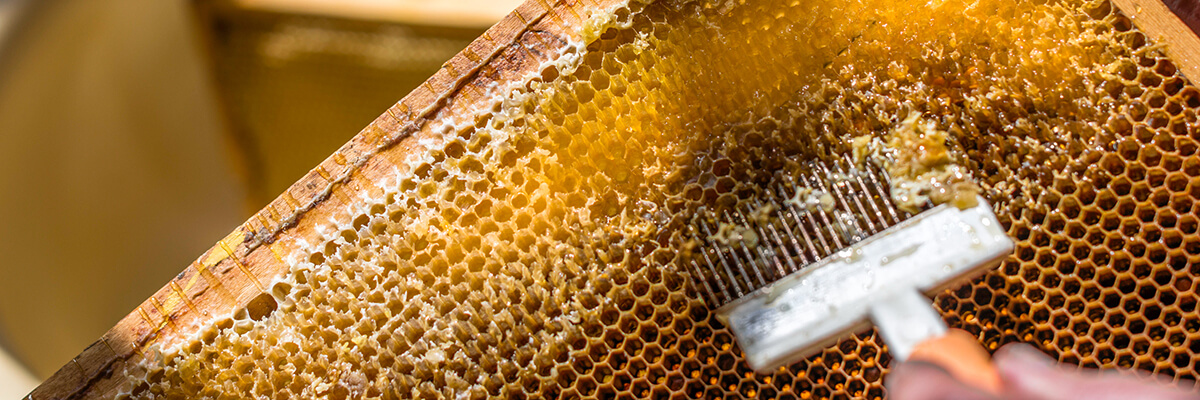 second-year beekeeper scraping cappings off of honeycomb to harvest honey