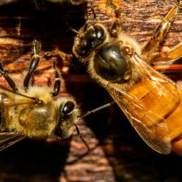 Queens and Workers showing differences in Honey Bee Biology