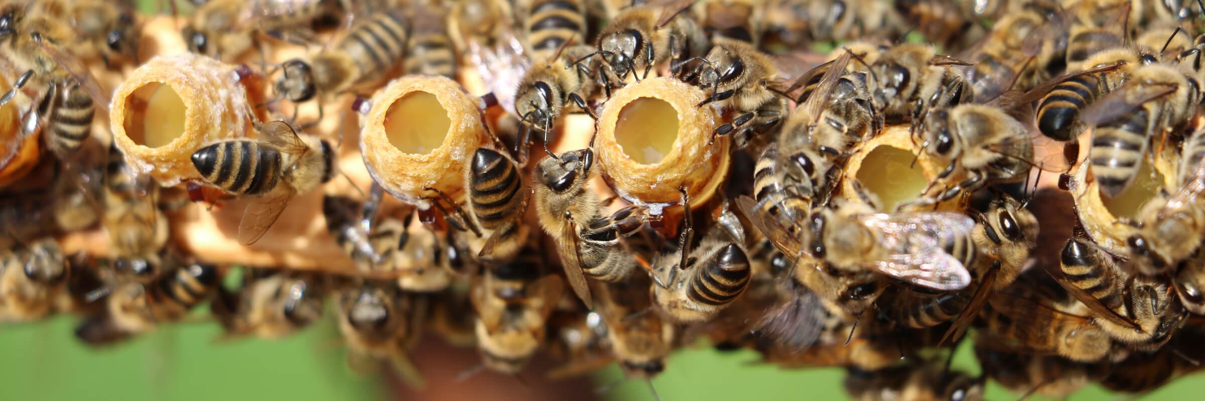 Honey bees sealing queen rearing cups