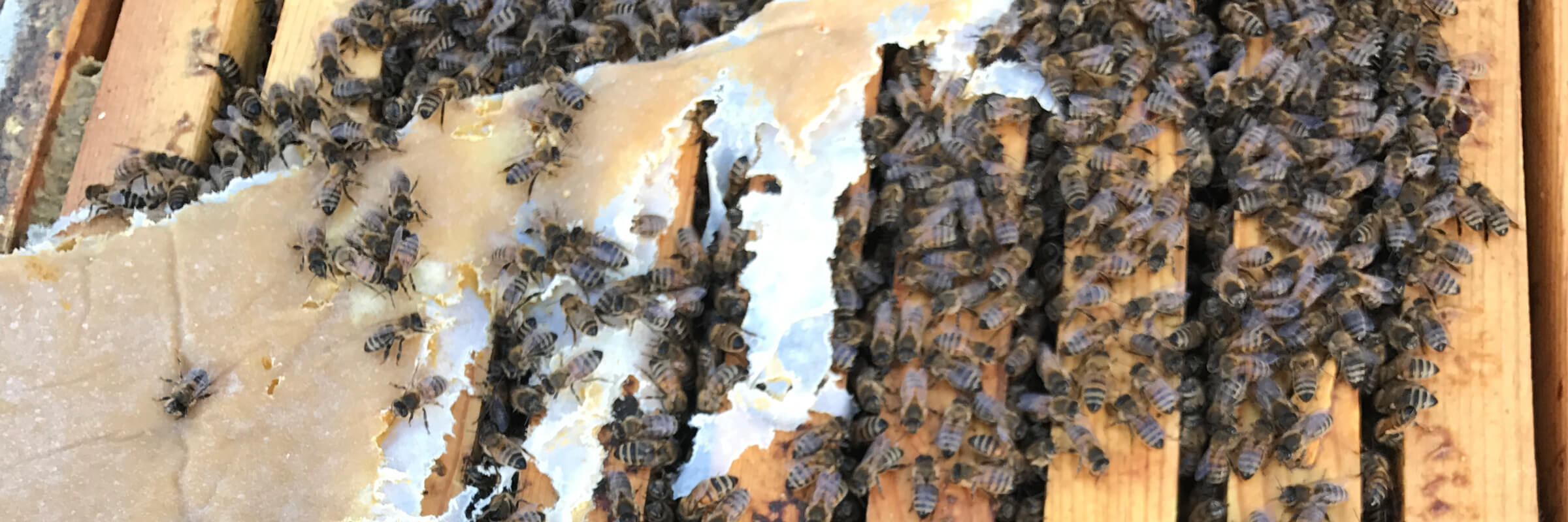 Feeding a bee hive protein patties to avoid starvation and other spring mistakes