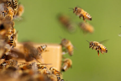 Bees using entrance on a bottom board, one of the components of a beehive