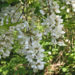 Black locust blooming in spring