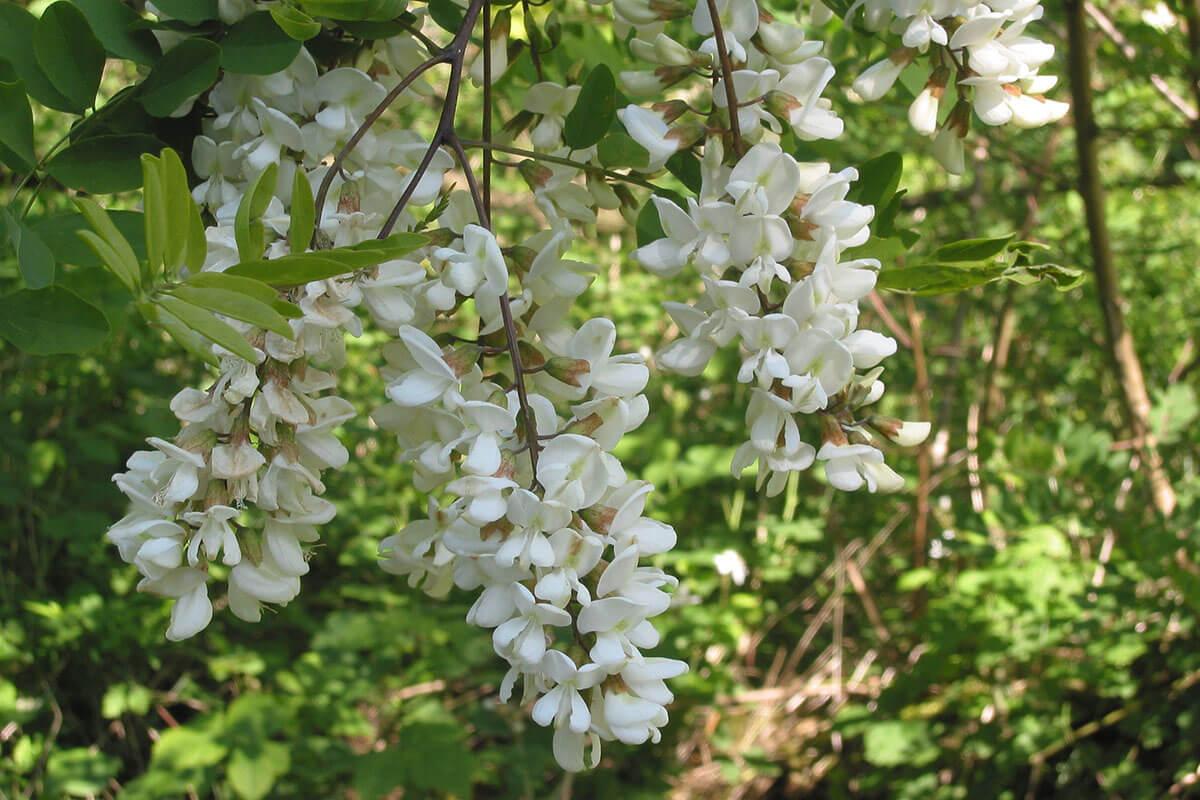 Black locust blooming in spring