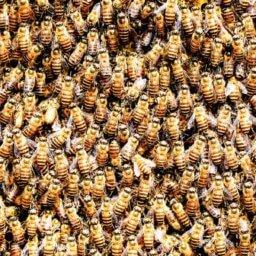 Honey bee colony raised using a beekeeper's calendar