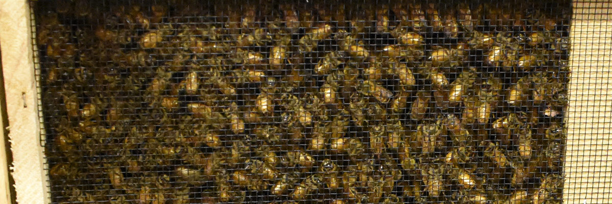 Dadant ships packaged bees this spring