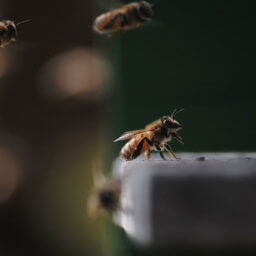 Hungry package bees fed by beekeeper making sugar syrup