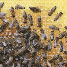 a colony of bees surrounded by foundation