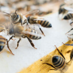Beekeeper learns to Install Package Bees